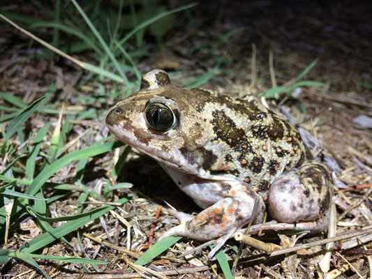Eastern Spadefoot Toad (Pelobates syriacus)