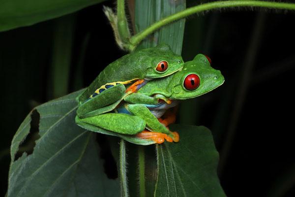 Red-eyed Leaf Frog (Agalychnis callidryas) amplectant couple