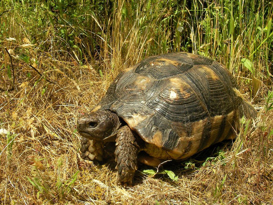 Marginated Tortoise (Testudo marginata), Sardinia, Italy, May 2011