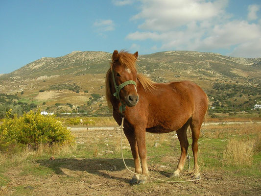 The smallest horse breed in the world, the Skyrian Horse.