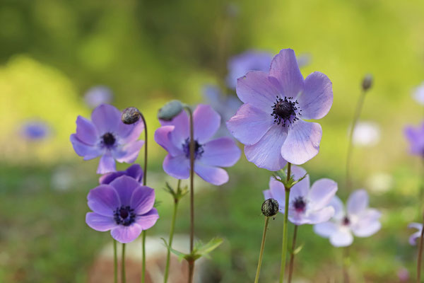 Poppy Anemones (Anemone coronaria) are in full bloom all throughout the island in early spring.