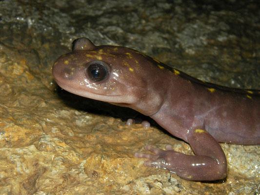 Gorgan Cave Salamander (Paradactylodon persicus)