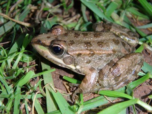 Sahara Frog (Pelophylax saharicus)
