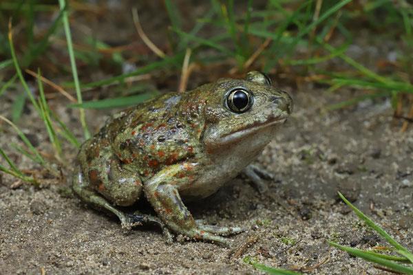 Common Spadefoot Toad (Pelobates fuscus)