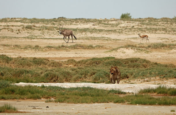 Predator and prey side by side, Lion, Oryx and Springbok.