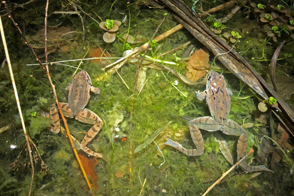 Agile Frog (Rana dalmatina) and Grass Frog (Rana temporaria), side by side.
