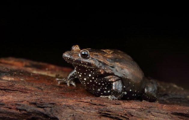 Hula Painted Frog (Latonia nigriventer) female