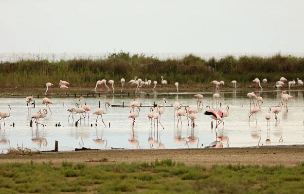 Feeding flock of  Greater Flamingo (Phoenicopterus roseus)
