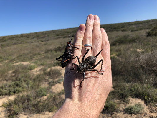 Creepy crawlers: Koppie Foam Grasshopper (Dictyophorus spumans) and Armoured Ground Cricket (Acanthoplus discoidalis).