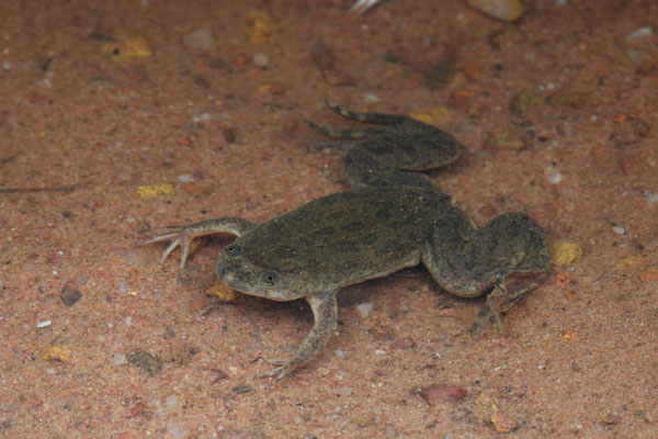Lake Victoria Clawed Frog (Xenopus victorianus)