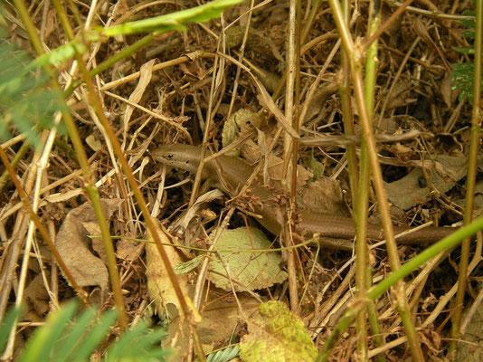 Boulenger's Skink (Trachylepis boulengeri)