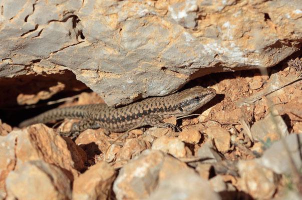 Lebanon Lizard (Phoenicolacerta kulzeri)