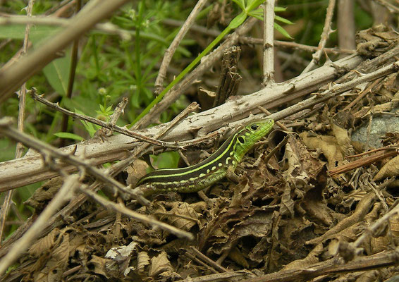 Levant Green Lizard (Lacerta media) juvenile