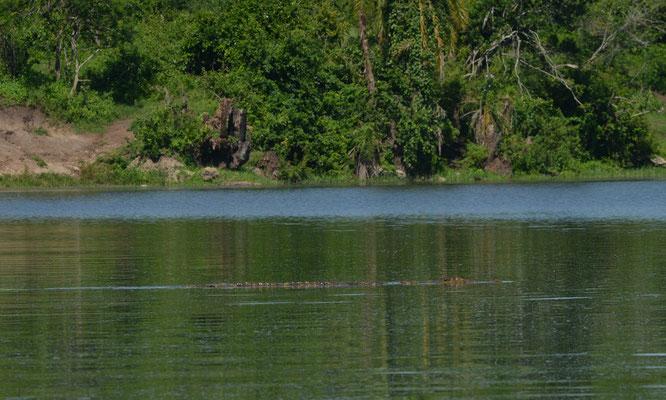 Nile Crocodile (Crocodylus niloticus) © Gert Jan Verspui