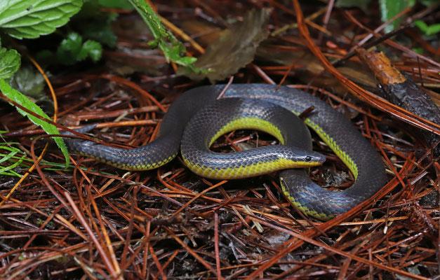 Rosebelly Earth Snake (Geophis rhodogaster)