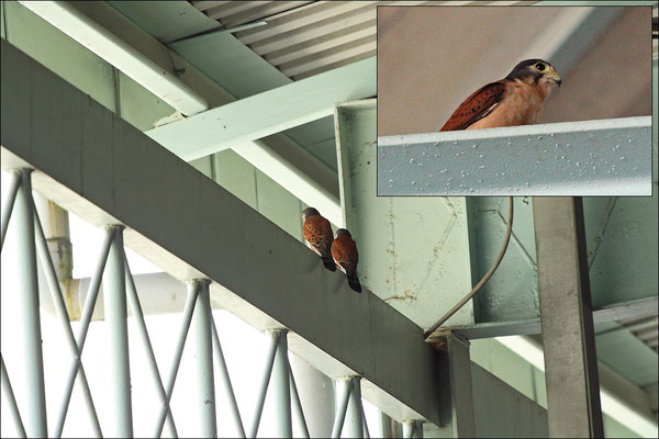 Two Seychelles Kestrels (Falco araea) in the arrivals hall of the airport. The female was frequently seen carrying food for her chick.