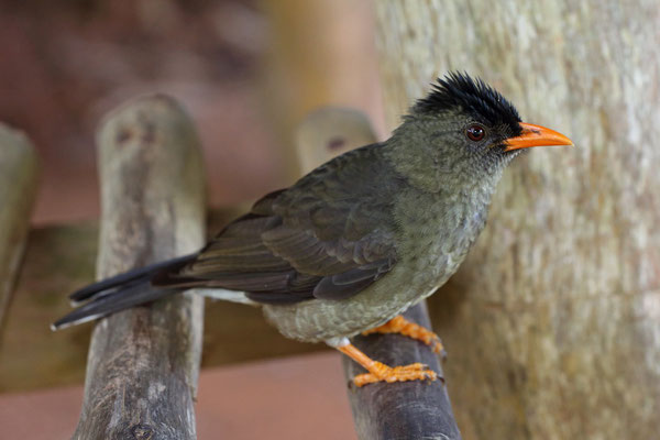 Seychelles Bulbuls (Hypsipetes crassirostris) are very common throughout the park, and are not shy of perusing your stuff in search for food.