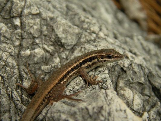 Snake-eyed Lizard (Ophisops elegans basoglui), Alanya, Turkey, February 2013
