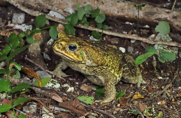 Western Cane Toad (Rhinella horribilis)
