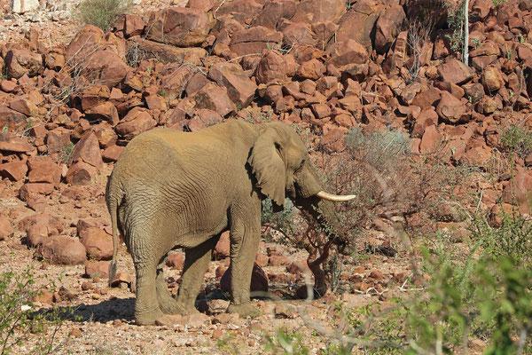 Desert Elephant (Loxodonta africana)