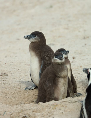 African Penguin (Spheniscus demersus) chicks