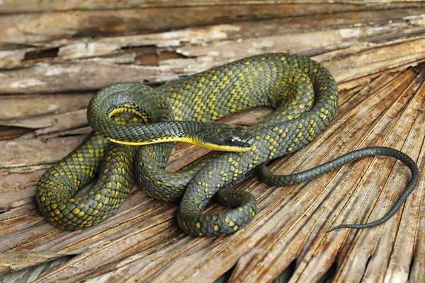 Bird-eating Snake (Phrynonax poecilonotus)