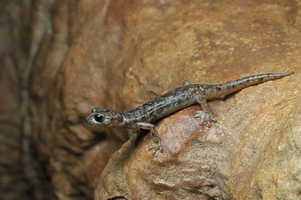 Monte Albo Cave Salamander (Speleomantes flavus)
