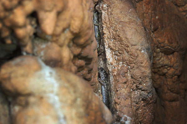 Scented Cave Salamander (Speleomantes imperialis) hiding from loud drunk locals.