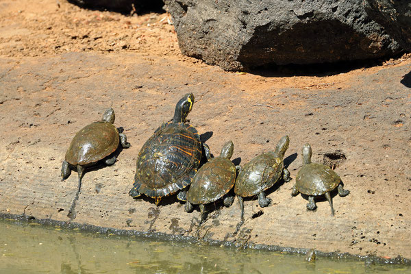 European Pond Terrapins (Emys orbicularis) and a big Yellow-bellied Slider (Trachemys scripta scripta)
