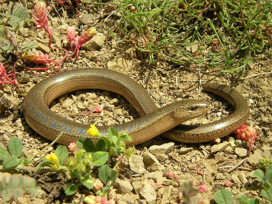 Eastern Slow Worm (Anguis colchica) male