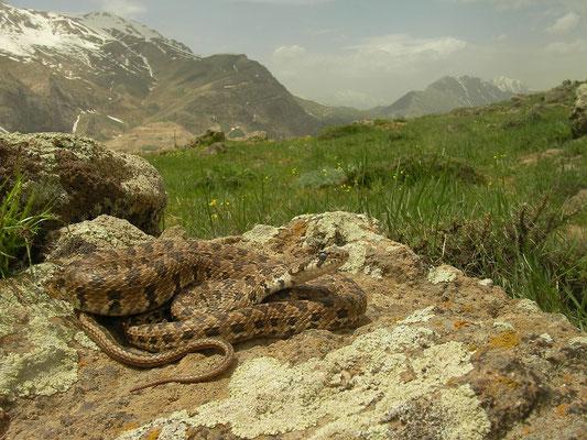 Spotted Whip Snake (Hemorrhois ravergieri) in habitat