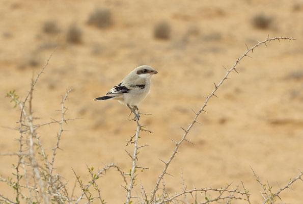 Southern Grey Shrike (Lanius meridionalis aucheri)
