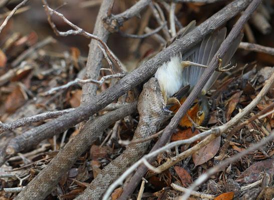 Milos Viper (Macrovipera lebetina schweizeri) eating European Robin (Erithacus rubecula).