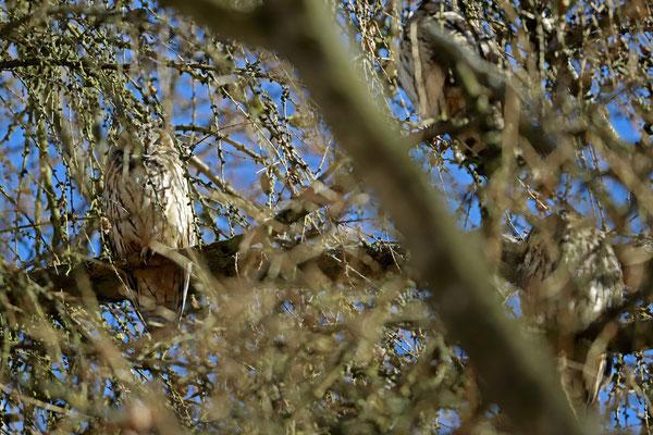 Long-eared Owls (Asio otus)