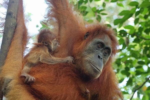 Sumatran Orangutan (Pongo abelii) breastfeeding her newborn baby.