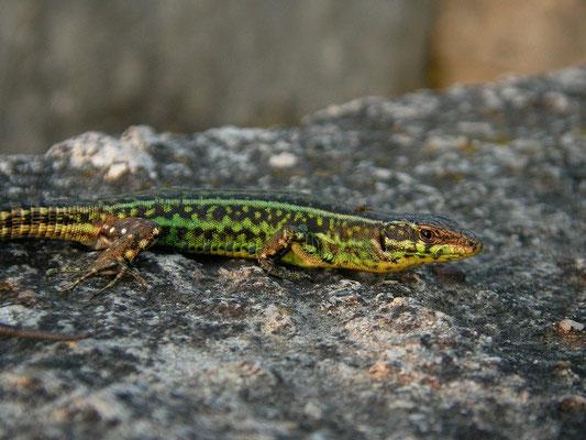 Tyrrhenian Wall Lizard (Podarcis tiliguerta), Sardinia, Italy, May 2011