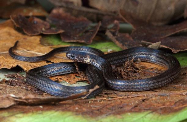 Reclusive Montane Brown Snake (Rhadinella anachoreta)