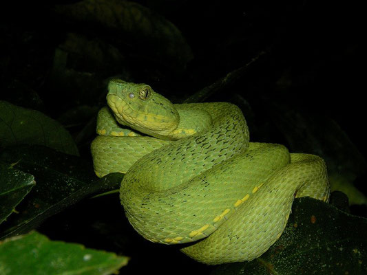 Striped Forest Pit Viper (Bothriopsis bilineata)