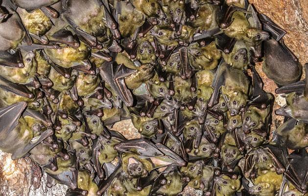 Cave Fruit Bat (Eonycteris spelaea) © Jasper Boldingh