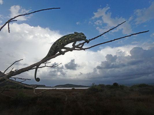 African Chameleon (Chamaeleo africanus)