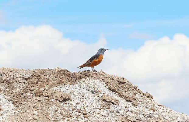 Common Rock Thrush (Monticola saxatilis)
