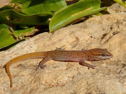 Banded Lizard-fingered Gecko (Saurodactylus fasciatus)