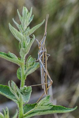 Mediterranean slant-faced grasshopper (Acrida ungarica) © Madeleine Wouda