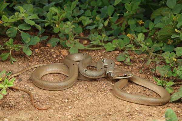 Reddish Whip Snake (Platyceps collaris)