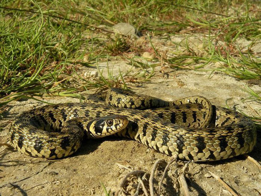 Grass Snake (Natrix natrix persa), Limnos, Greece, May 2010