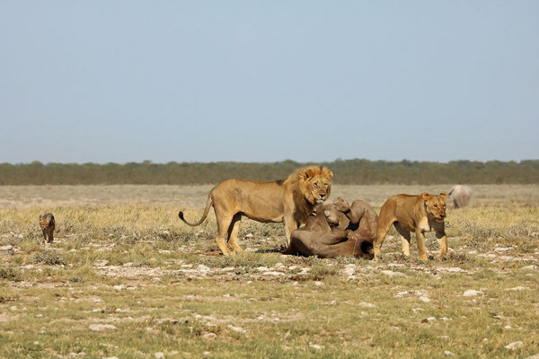 When the lions had their fill, the jackal could move in a little closer. An elephant is visible in the background.