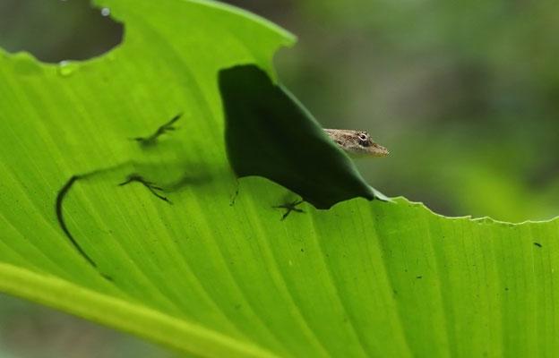 Moist Forest Anole (Anolis unilobatus)