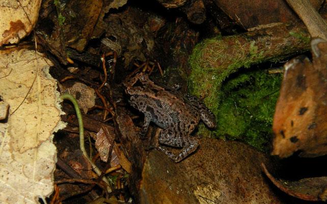 Seychelles Pygmy Frog (Sooglossus sechellensis)