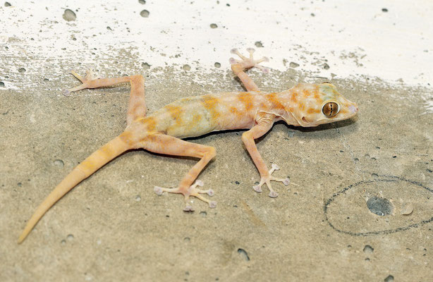 Yellow Fan-fingered Geckoes (Ptyodactylus hasselquistii)