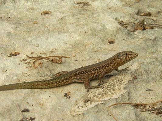 Lilford's Wall Lizard (Podarcis lilfordi codrellensis), Ille de Escull Codrell, Menorca, Spain, August 2011